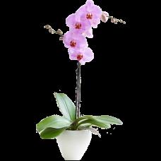"""Орхидея """"Фаленопсис"""" 1 цветонос"""