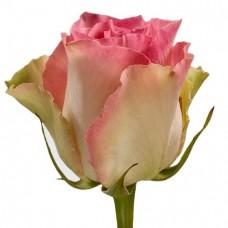 Роза Malibu 50 см