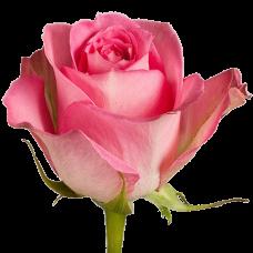 Роза Sweet Unique 50 см