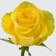 Роза Yellow Magic 50 см