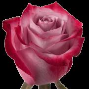 Роза Deep Purple 50 см