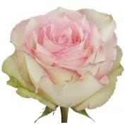 Роза Esperanse 50 см
