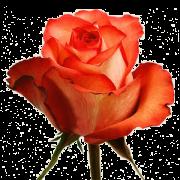 Роза Iguana 60 см