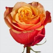 Роза Cherry Brandy 50 см