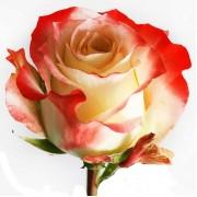 Роза Cabaret 60 см