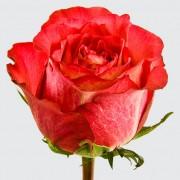Роза Iguazu 60 см