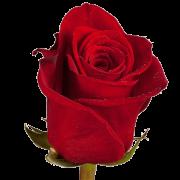 Роза Freedom
