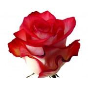Роза Blush 80 см