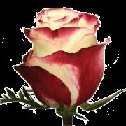Роза Sweetness